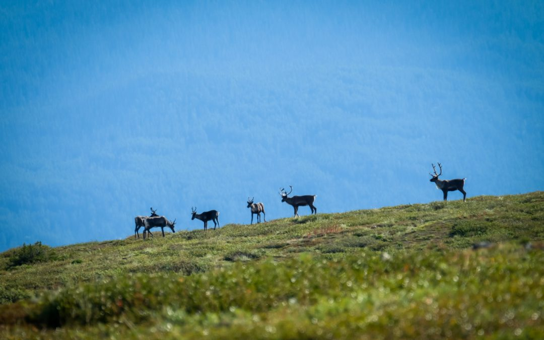 A Unique Subspecies: The Mountain Caribou