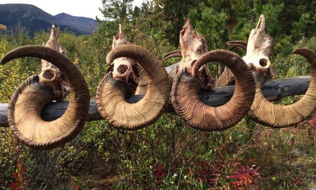 A Stone Sheep Hunting Season to Remember