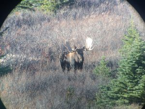 Moose in Hunting Area