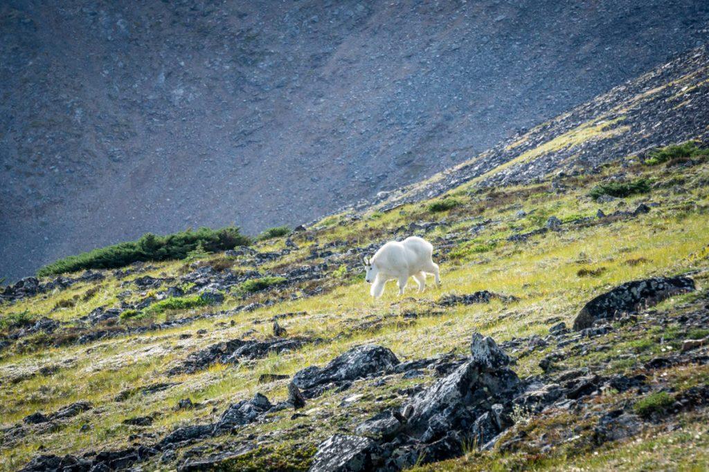B.C. Mountain Goat