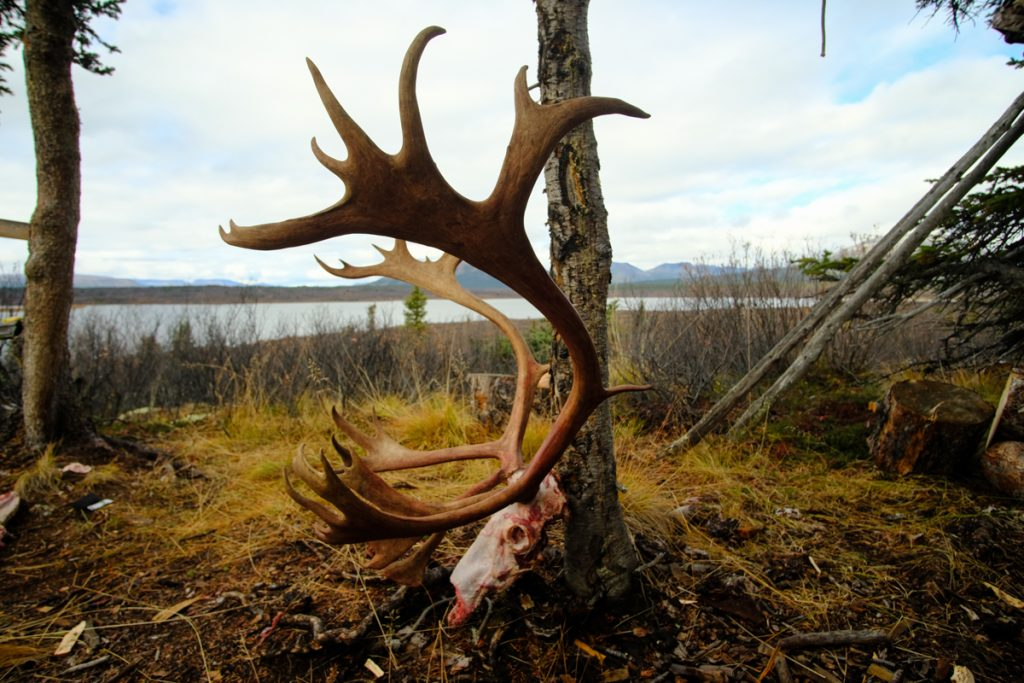 Mountain Caribou Antlers