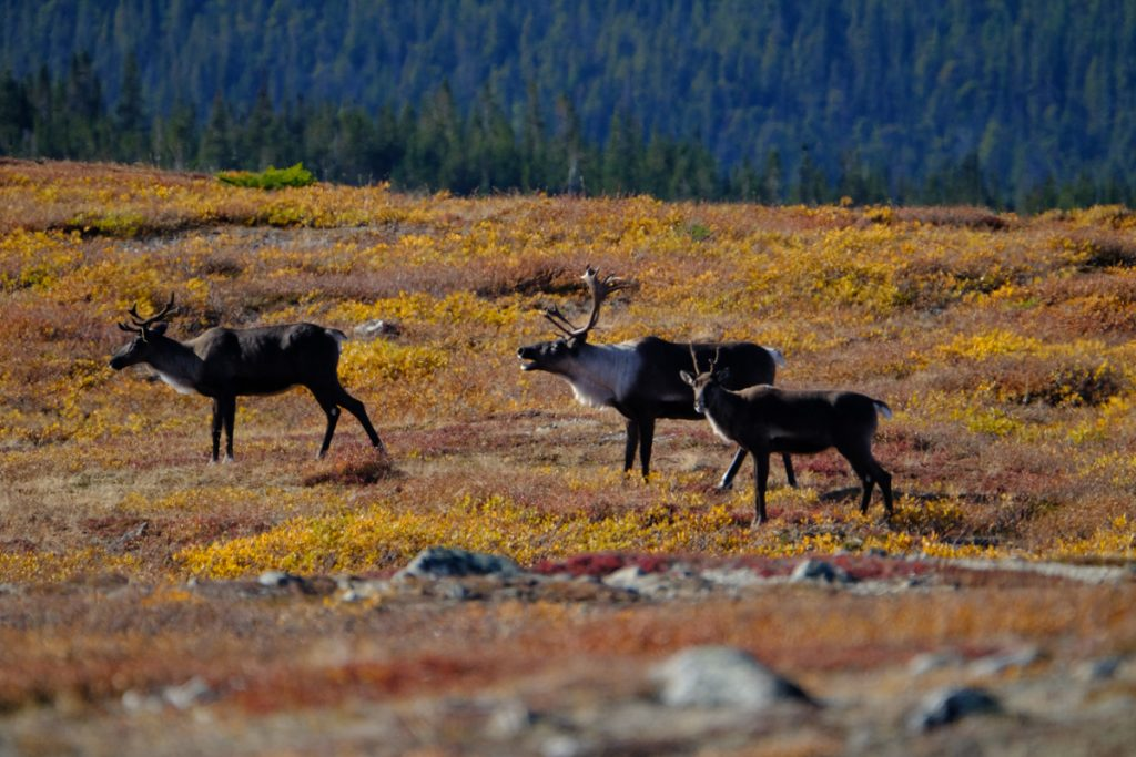 Northern BC Mountain Caribou Hunt